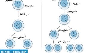 سلولها چگونه تقسیم میشوند؟