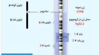 متخصصان ژنتیک چگونه موقعیت یک ژن را تعیین میکنند؟