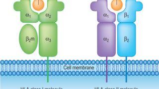 آنتی ژن های لوکوسیت انسانی HLA