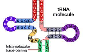 tRNA انتقال دهنده یا حامل