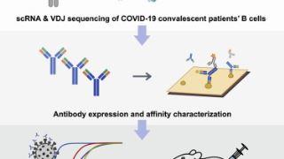 از آنتی بادی های خنثی کننده برای درمان COVID-19 چه می دانید؟