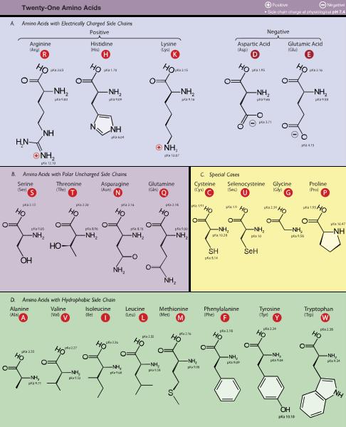 انواع گروه های جانبی در اسید های آمینه