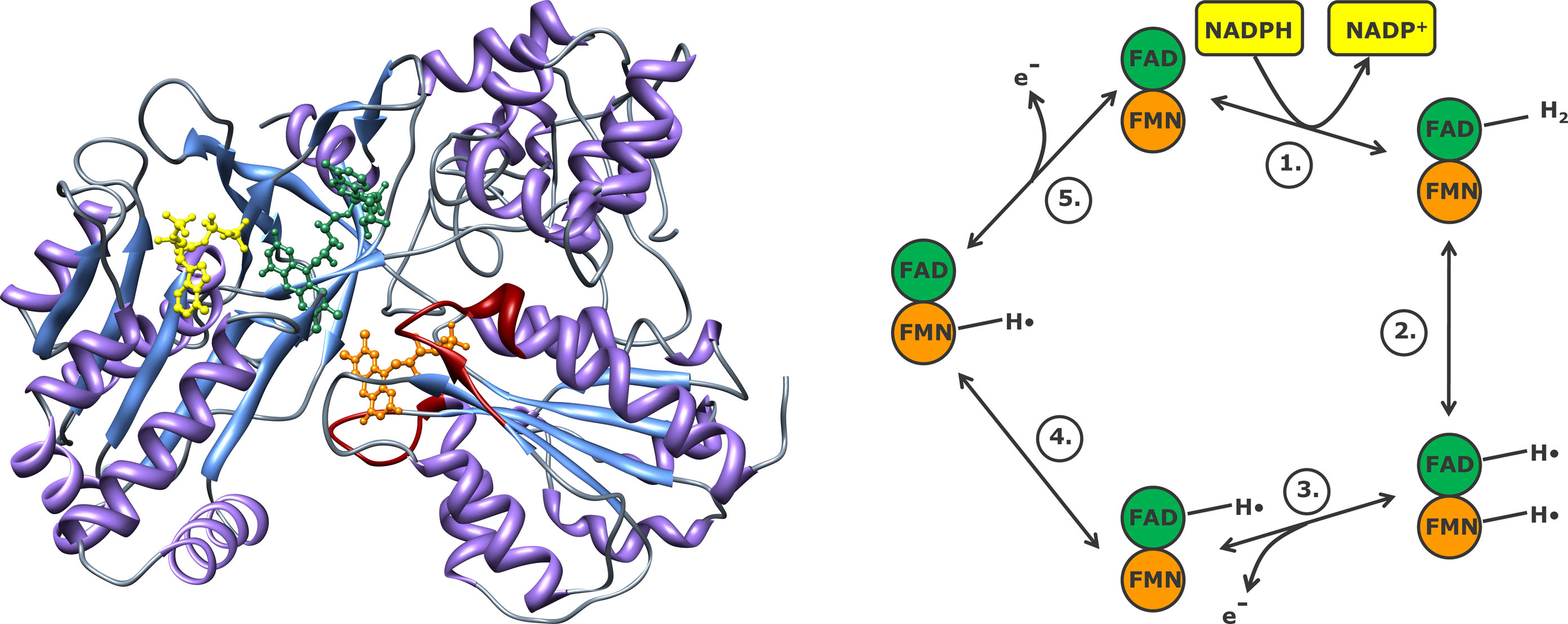 سیتوکروم p450